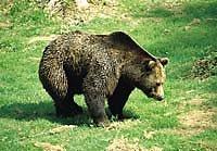 Nationalpark Bayerischer Wald (Bär)