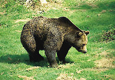 Bär im Nationalpark Bayerischer Wald